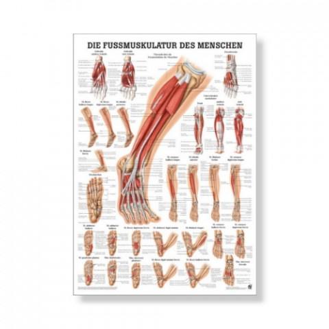 'Die Fußmuskulatur Mini Poster 24 x 34 cm'