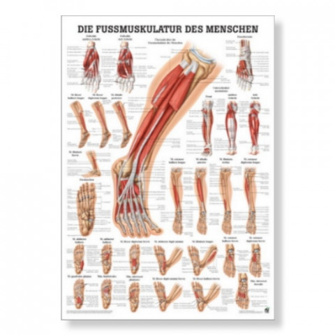 'Die Fußmuskulatur Poster'