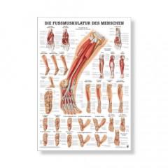 Die Fußmuskulatur Mini Poster 24 x 34 cm