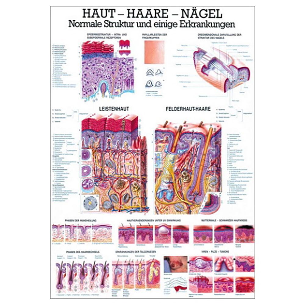 Haut - Haare - Nägel Lehrtafel 70 x 100 cm